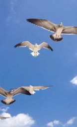 The Beauty of Gulls Flying