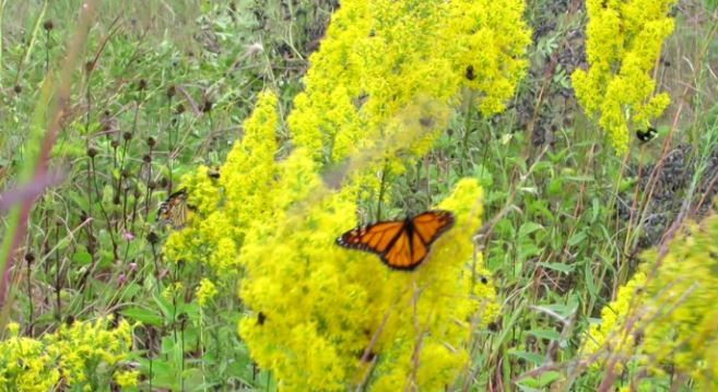 Monarch Butterflies and Honey Bees
